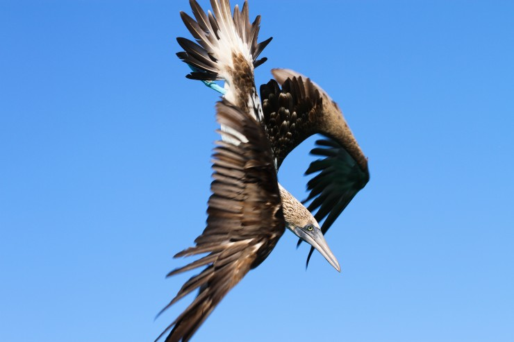 Just before entering streamline, this Blue-footed Booby prepares to dive beneath the ocean's surface in search of fish.