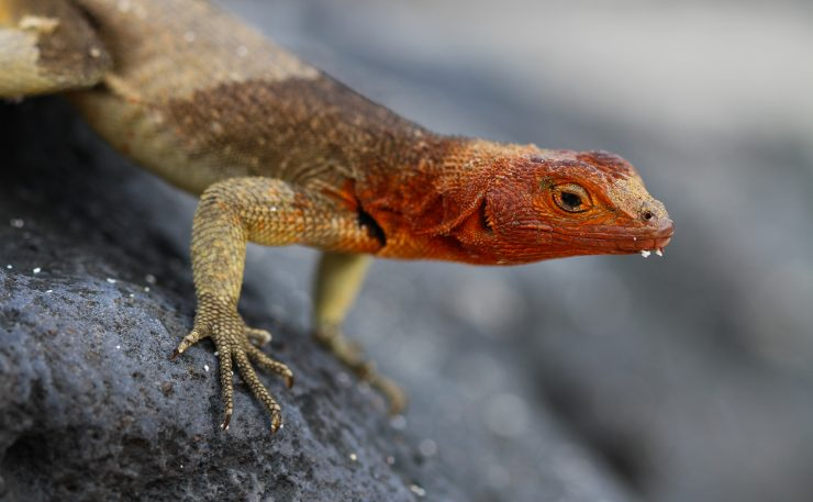 This Galapagos lava lizard has a dew goatee after waking up from a cold night.