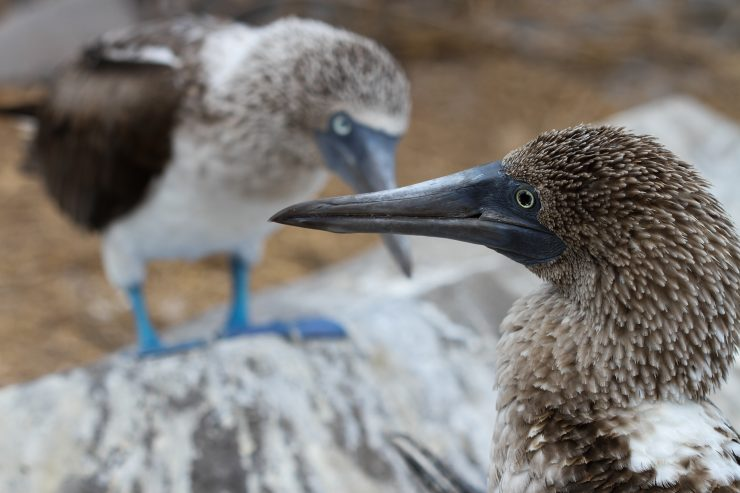 This mother and father blue-footed booby cross beacks while perched over their baby chick, their heads forming a vague outline of a heart.