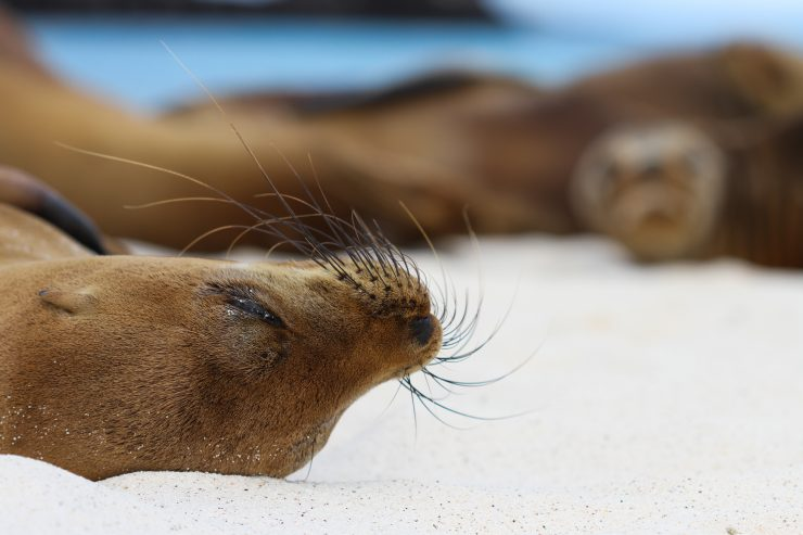 This Galapagos sea lion naps peacefully with a group of her friends under the cozy sun.