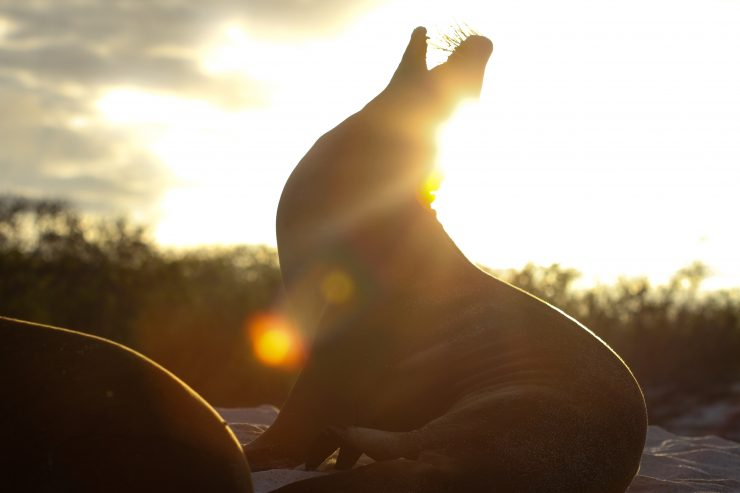 This Galapagos sea lion yawns into the setting sun before getting ready for bed.