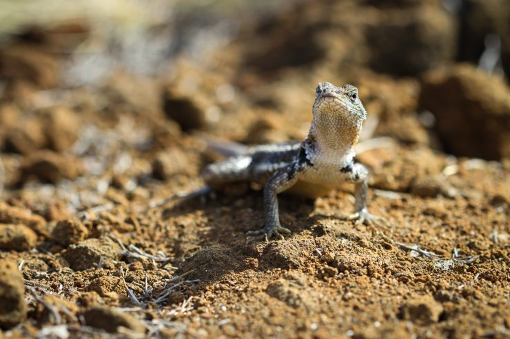 A Galapagos lava lizard challenges me to a standoff as I quickly take his courageous picture.