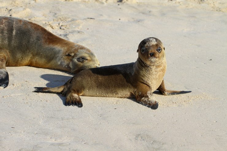 This baby Galapagos sea lion curiously gazes at Amato.