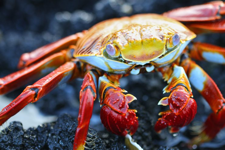 A close up of a sally light-foot crab standing on sharp lava rock in the Galagagos Islands.