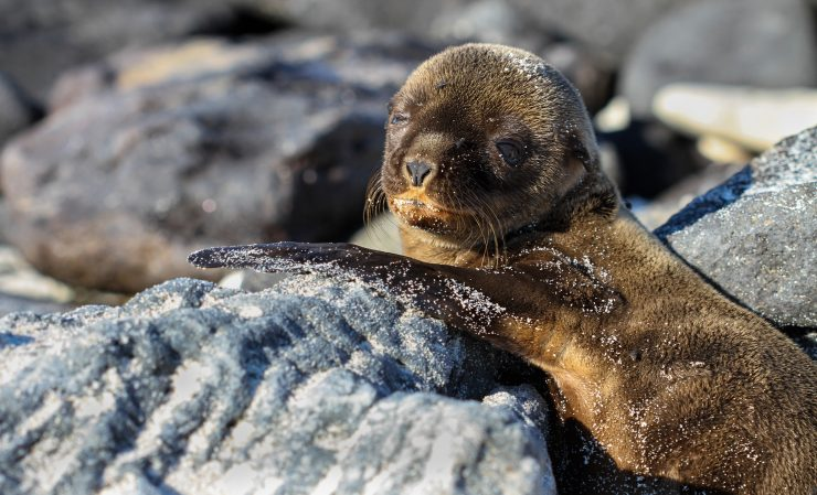 A Galapagos sea lion pup reclining between two beach stones.
