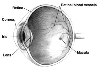 diagram of an eye