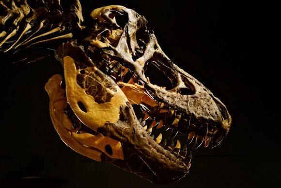 t-rex-skull-in-museum