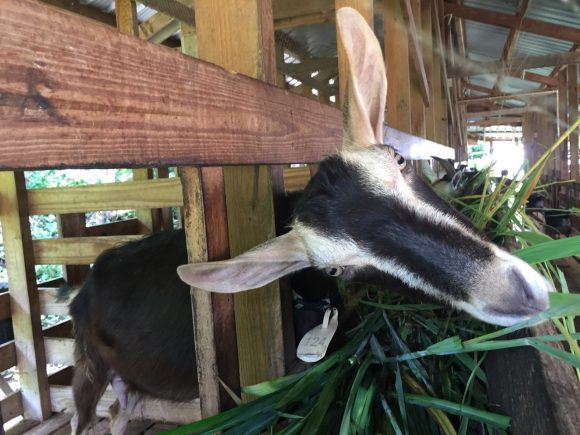 A dairy goat sticks its head through the slats of its enclosure, munching its greens.