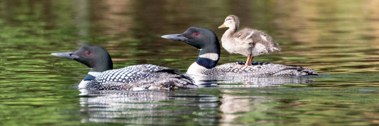 loons and a duck.
