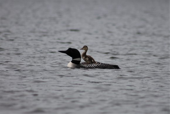 Loon and duck.