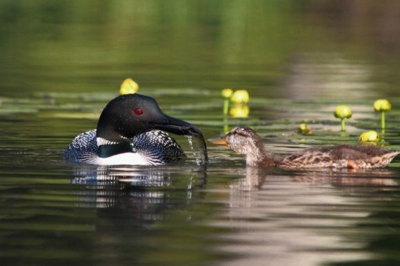 Loon feeds duck fish. Photo by Linda Grenzer.